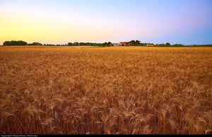 Beautiful Field, Italy - Art 4 Charities, LLC