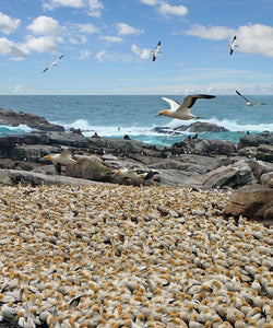 Bird Island, Lamberts Bay, South Africa - Art 4 Charities, LLC