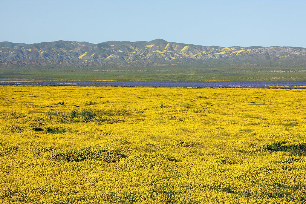 Carrizo Spring Flowers in Bloom, California