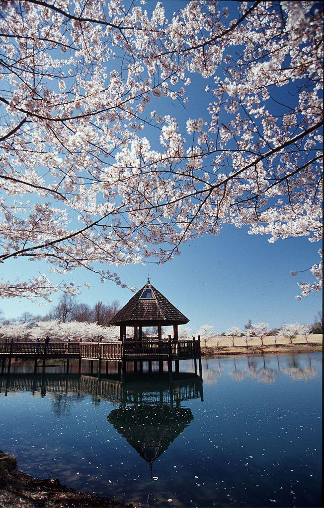 Cherry Blossoms In Bloom, Virginia