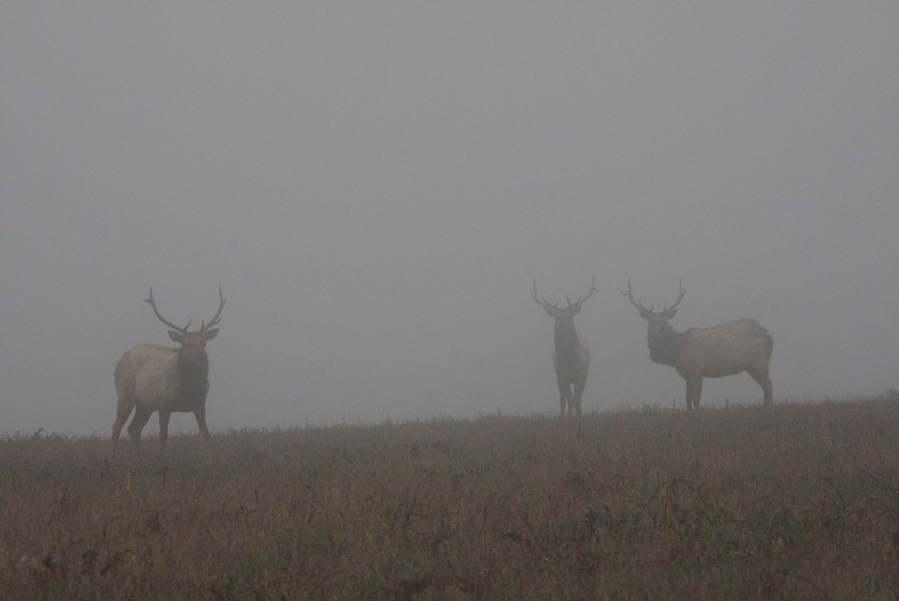 Elk in the Mist, Point Reyes National Seashore, California