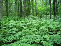 Ferns in Forest, Rachel Carson National Wildlife Refuge, Maine