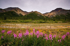 Flowers Along Glennallen Highway, Alaska