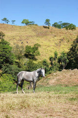 Horse in Field, Puntarenas, Costa Rica