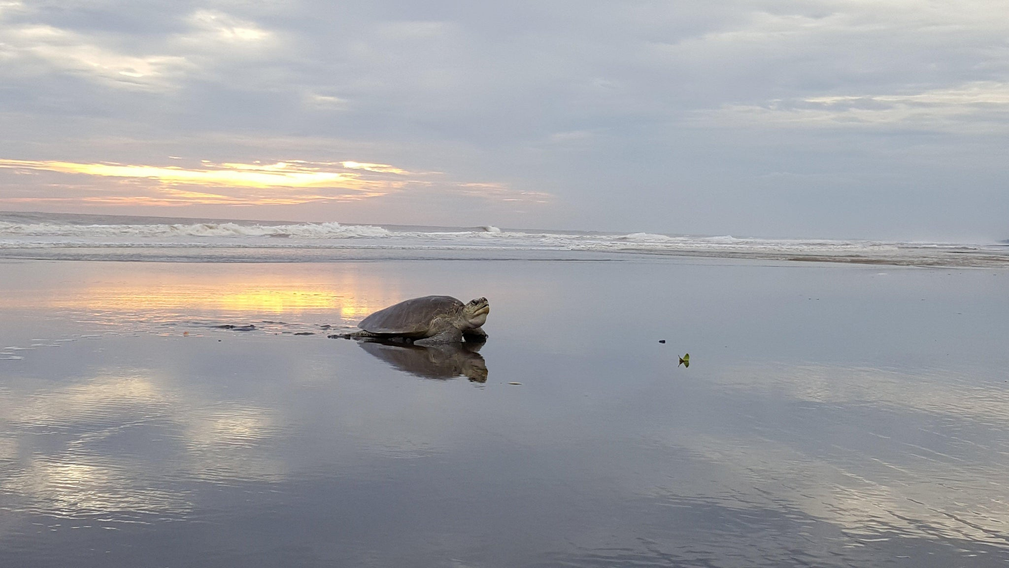 Sea Turtle At Sunrise