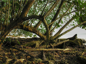 Trees on Cahuita Beach, Costa Rica - Art 4 Charities, LLC