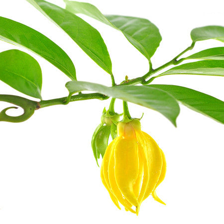 Ylang Ylang Complete Organic Essential Oil (1 oz)