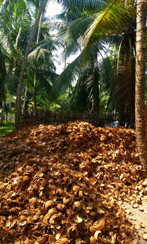 Coconut Farm, Coconut Plantation, Sri Lanka