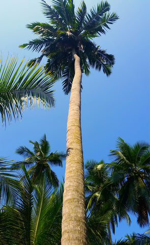 Coconut Palm Tree, Sri Lanka