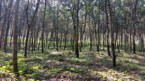 Natural rubber tree farm, Rubber tree forest, Sri Lanka, Rubber planation, Fair Rubber, Olli