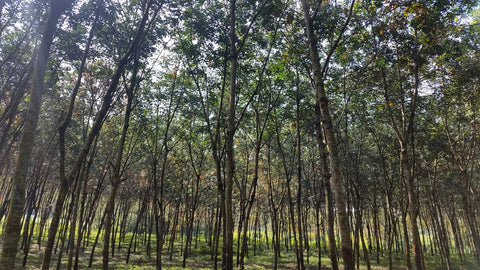 hevea brasiliensis, Natural rubber, Rubber tree farm, rubber plantation, rubber forest, Sri Lanka, fair rubber, olli