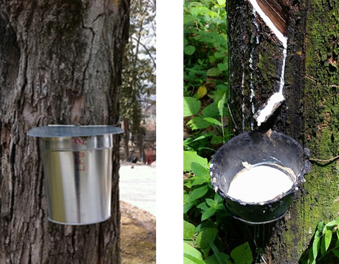 Rubber tree tapping, latex, maple syrup tapping, compare