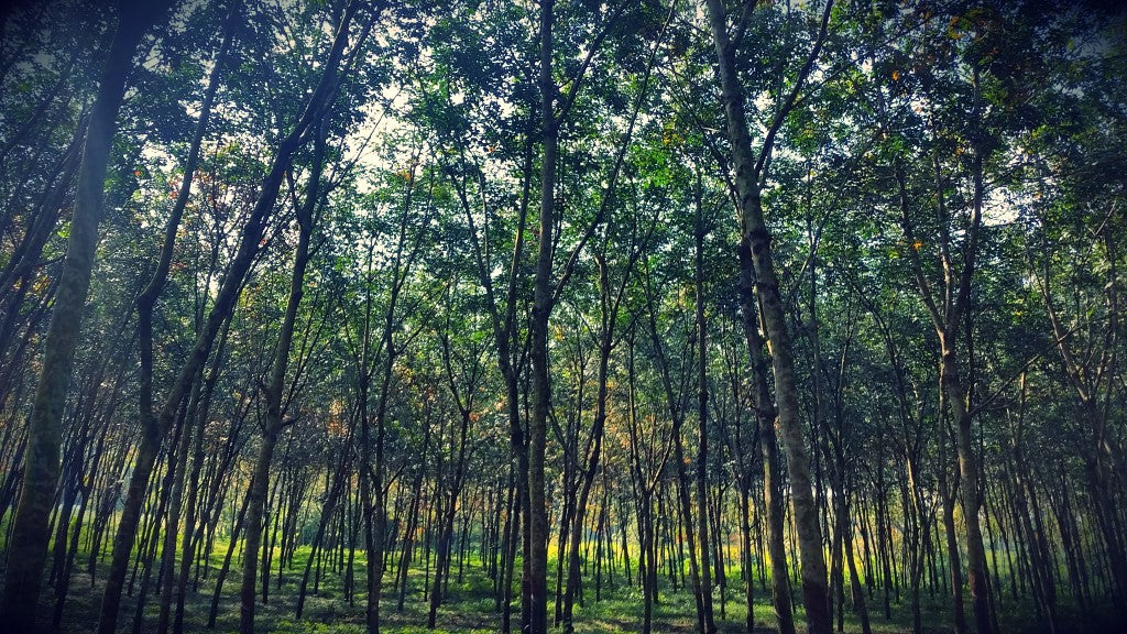 Natural Rubber Plantation, Sri Lanka, rubber tree plantation, Rubber trees, Fair Rubber, hevea brasiliensis, #fairrubber