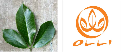 Olli logo, 3 leaf logo, Ethically Sourced, Fair Rubber