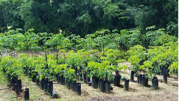 Natural rubber tree farm nursery, Sri Lanka, fair rubber, Rubber trees, heveabrasiliensis, natural rubber, #fairrubber