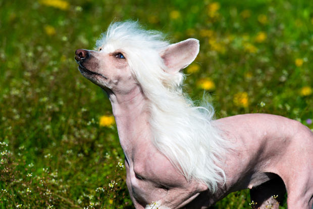 Cute or Creepy? 5 Dog Breeds You Won't Believe