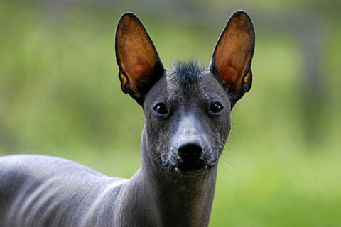 Xolo Hairless Dog