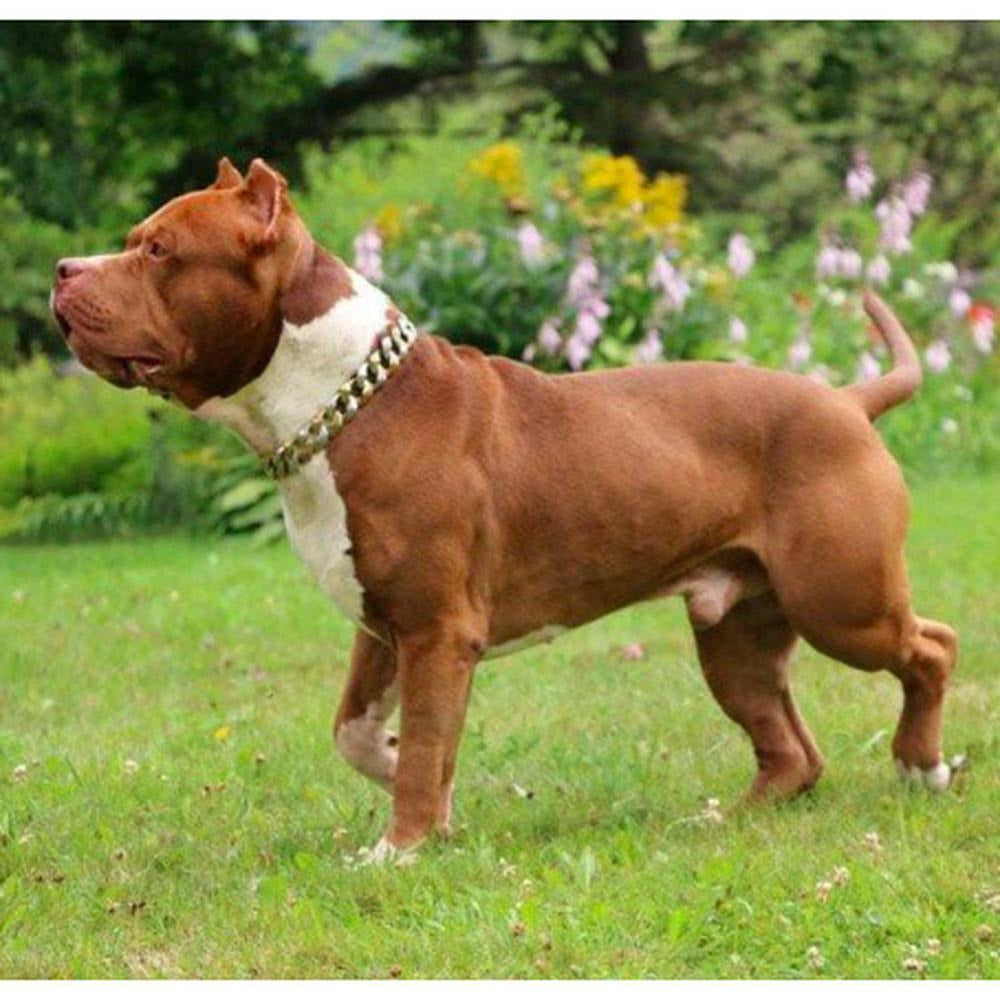 Capone Curb Link - Large Size Range | Luxury Collar