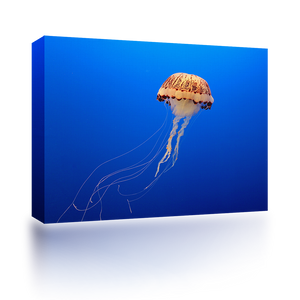Lone Jelly Fish