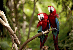 Zidne tapete Colorful Macaw SW023