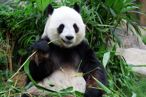 most endangered animals panda