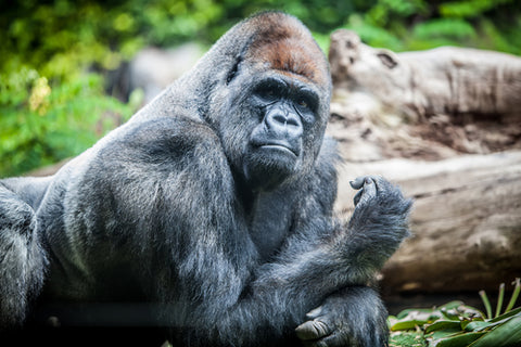 most endangered animal gorilla