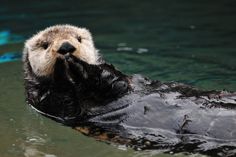 sea otter endangered animals