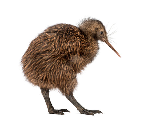 kiwi most endangered animals