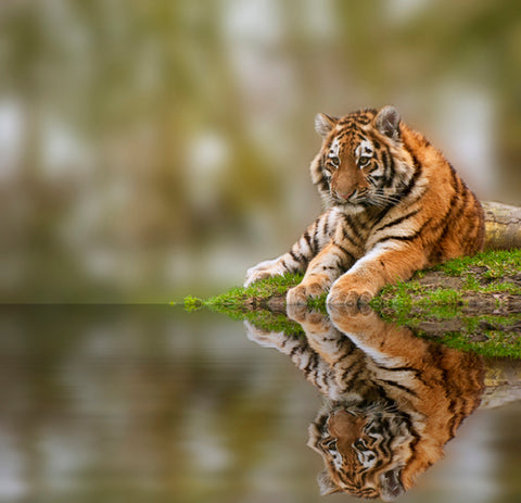 tiger most endangered animals