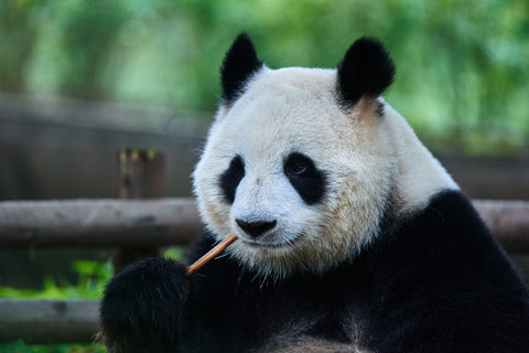 Giant Panda Vulnerable Status