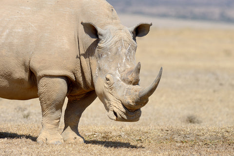 Rhino most endangered animal