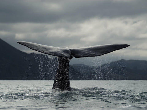 blue whale endangered