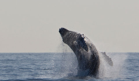 Humpback Whale Endangered Status