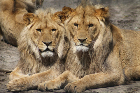 Lions Vulnerable Status
