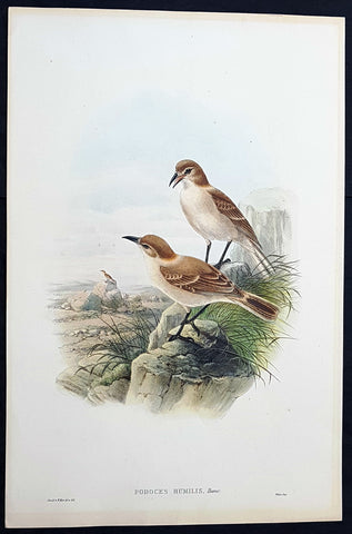 1850 John Gould Large Antique Bird Print of The Tibetan or Humes Ground-Tit