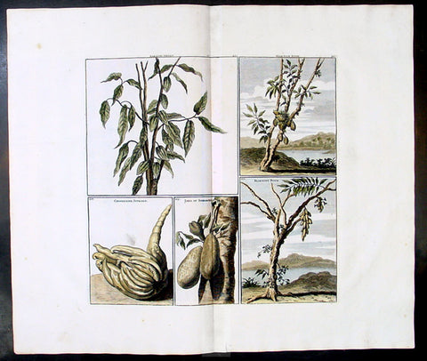 1698 De Bruyn Antique Print of Cacao, Chinese lemon, Jaka Plants of Indonesia