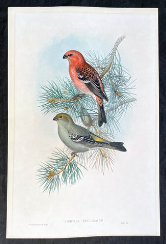 1862 John Gould Large Antique Print Birds of Great Britain - Pine Grosbeak