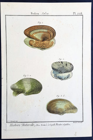 1789 Lemarck, Redoute Antique Print of a Conchology or Clam Shell Print - Pl 228