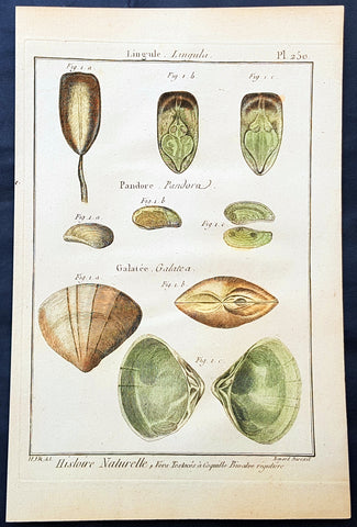 1789 Jean Baptiste Lamarck Antique Concology Print, Surf Clam Shells Plate 250