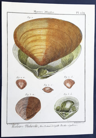 1789 Lemarck & Redoute Antique Shell Print of a Duck Clam Shell, Pl 259