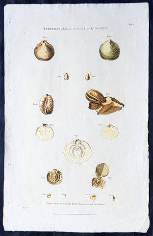 1798 Laperouse Large Antique Print of Shells, Molluscus, Shellfish of Pacific