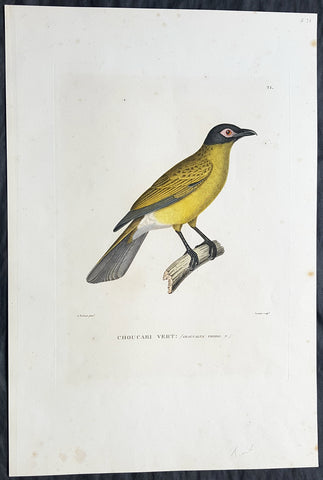 1824 Louis Freycinet Antique Print of Yellow Bellied Wood Shrike of Timor, 1818