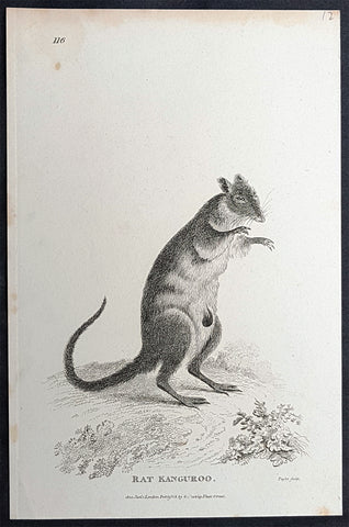 1800 George Kearsley Shaw Antique Early Print The Australian Musky Rat Kangaroo