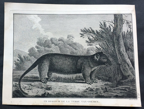 1785 Capt. Cook Antique Print of a Possum from Bruny Island, Tasmania in 1777