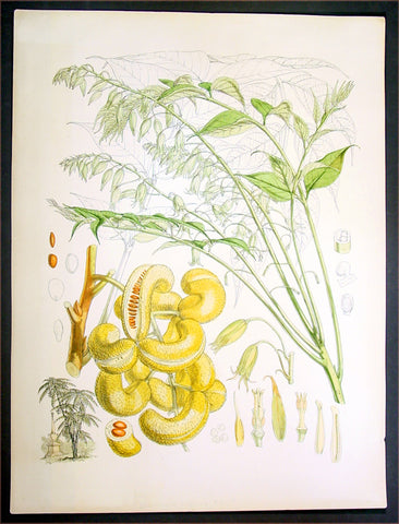 1855 Hooker Fitch Antique Botanical Print China Mao Er Shi Goat Horn