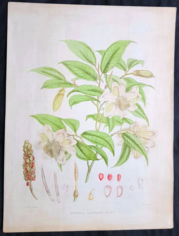 1855 Hooker & Fitch Original Antique Botanical Print of Fairy Magnolia Tree