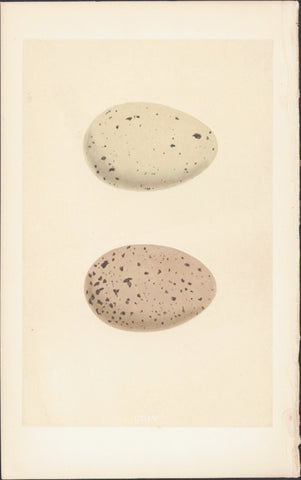 1856 Morris Antique Ornithogical Print Eggs of Black Throated & Red Throated Diver