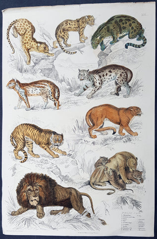 1825 Captain Thomas Brown Antique Print of Cats - Lions, Puma, Tiger, Leopard...
