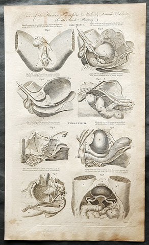 1798 W H Hall Large Antique Anatomical Print of Male & Female Pelvic X Section