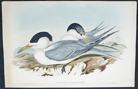 1840-48 John Gould Antique Print Birds of Australia, Torres Straits Crested Tern